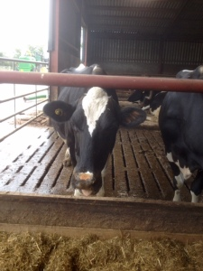 A couple of the Kirkhams cows in their comfy shed, eating away.